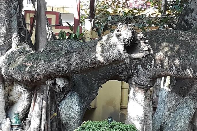 Đến xem cây đa cổ thụ có 13 gốc ở Hải Phòng - Ảnh 1.