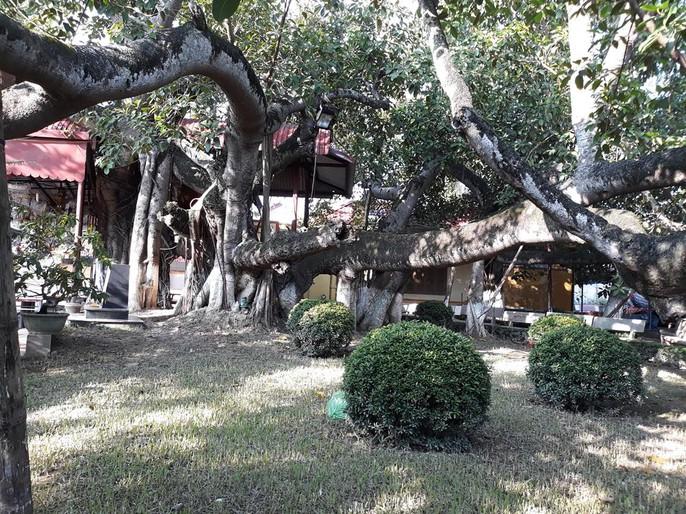 Đến xem cây đa cổ thụ có 13 gốc ở Hải Phòng - Ảnh 8.