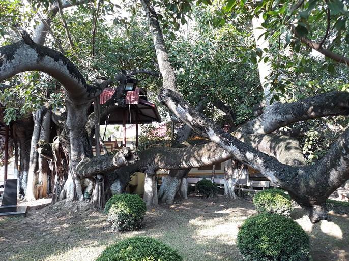 Đến xem cây đa cổ thụ có 13 gốc ở Hải Phòng - Ảnh 2.