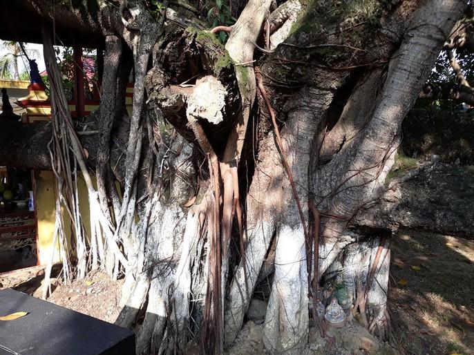 Đến xem cây đa cổ thụ có 13 gốc ở Hải Phòng - Ảnh 3.