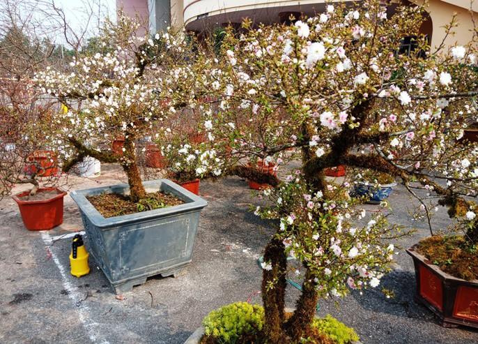 Mai trắng quý gây sốc với giá trăm triệu tại chợ hoa Tết đất cố đô - Ảnh 2.