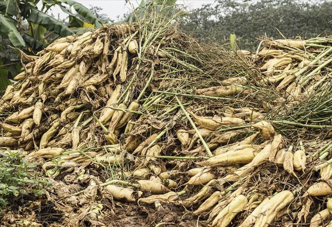 Cả cánh đồng ngập trắng củ cải bị vứt bỏ vì không ai mua - Ảnh 2.