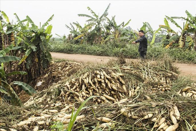Cả cánh đồng ngập trắng củ cải bị vứt bỏ vì không ai mua - Ảnh 5.