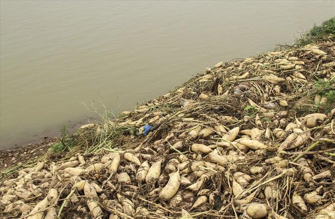 Cả cánh đồng ngập trắng củ cải bị vứt bỏ vì không ai mua - Ảnh 6.