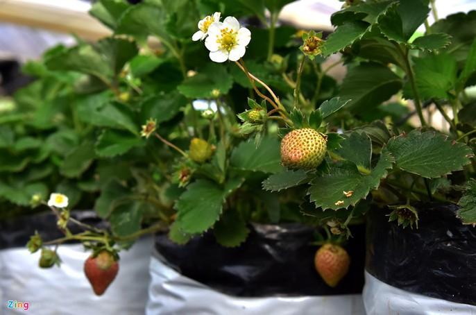 Nhà giàu đổ xô lên Măng Đen trồng rau sạch, thuốc quý - Ảnh 6.