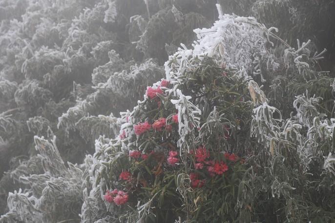 Hiếm hoi cảnh đỗ quyên rực lửa trong tuyết trên đỉnh Fansipan - Ảnh 5.