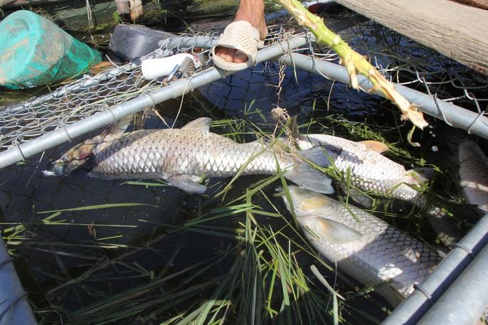 Dân khóc ròng vì cá nuôi chết hàng loạt