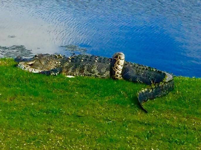 Cận cảnh cá sấu và trăn quấn quýt trên sân golf - Ảnh 1.
