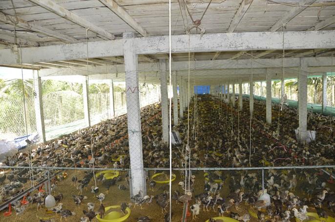 """Chuồng 2 tầng nuôi gà nòi lai giúp 1 nông dân """"hốt bạc"""" - Ảnh 2."""