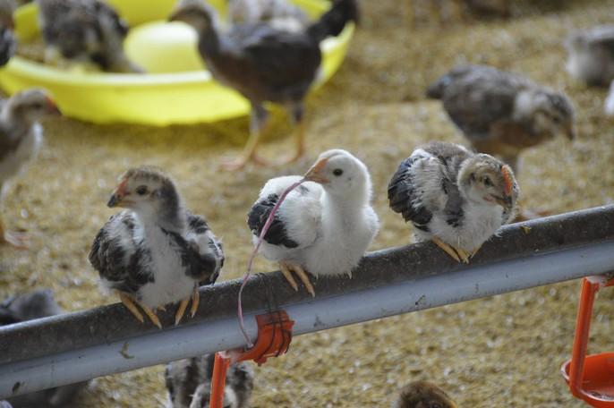 """Chuồng 2 tầng nuôi gà nòi lai giúp 1 nông dân """"hốt bạc"""" - Ảnh 4."""