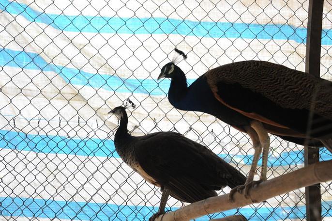 """""""Đột nhập"""" trang trại nuôi chim công lớn nhất miền Tây - Ảnh 6."""