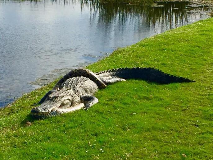 Cận cảnh cá sấu và trăn quấn quýt trên sân golf - Ảnh 3.