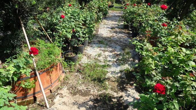 Du Xuân ngắm vườn hoa hồng lớn nhất miền Tây - Ảnh 7.