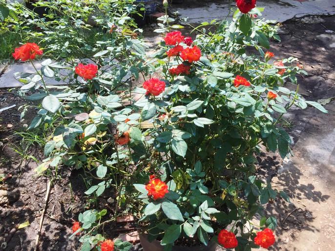 Du Xuân ngắm vườn hoa hồng lớn nhất miền Tây - Ảnh 10.