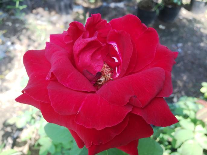 Du Xuân ngắm vườn hoa hồng lớn nhất miền Tây - Ảnh 13.