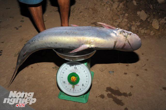Sướng mắt theo ghe miền Tây săn tôm càng, cá bông lau - Ảnh 15.