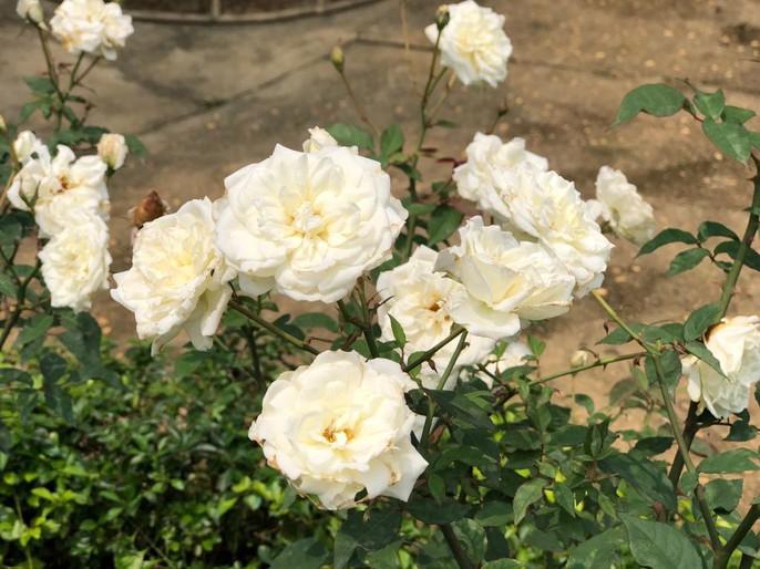 Sững sờ trước vườn hồng 3,5 ha tuyệt đẹp vừa nhận kỷ lục Việt Nam - Ảnh 4.