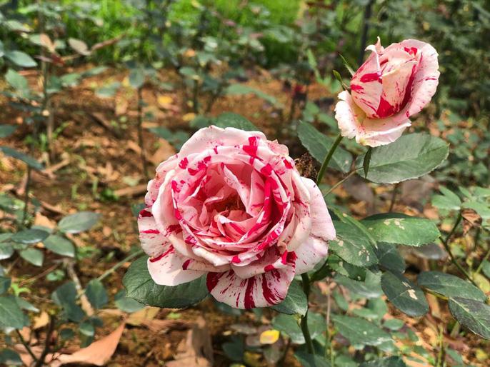 Sững sờ trước vườn hồng 3,5 ha tuyệt đẹp vừa nhận kỷ lục Việt Nam - Ảnh 2.