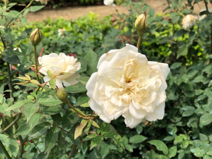 Sững sờ trước vườn hồng 3,5 ha tuyệt đẹp vừa nhận kỷ lục Việt Nam - Ảnh 10.