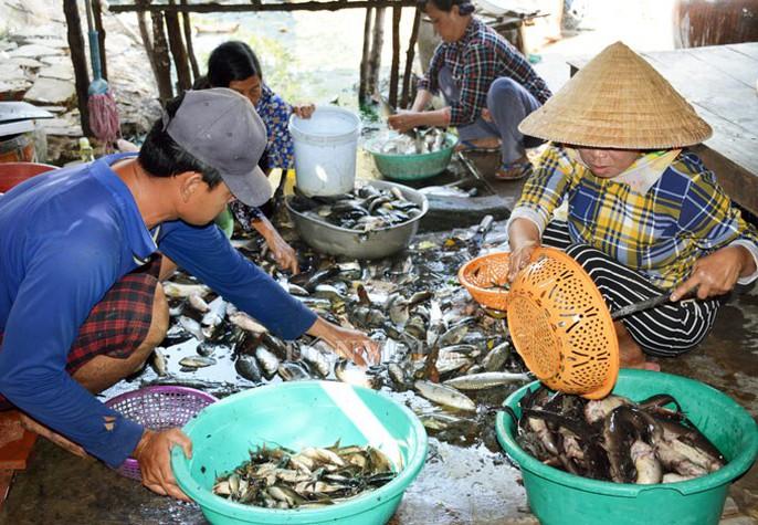 Ngợp với cảnh mỏi tay vớt cá dạt vào bờ ở Cà Mau, Bạc Liêu - Ảnh 12.