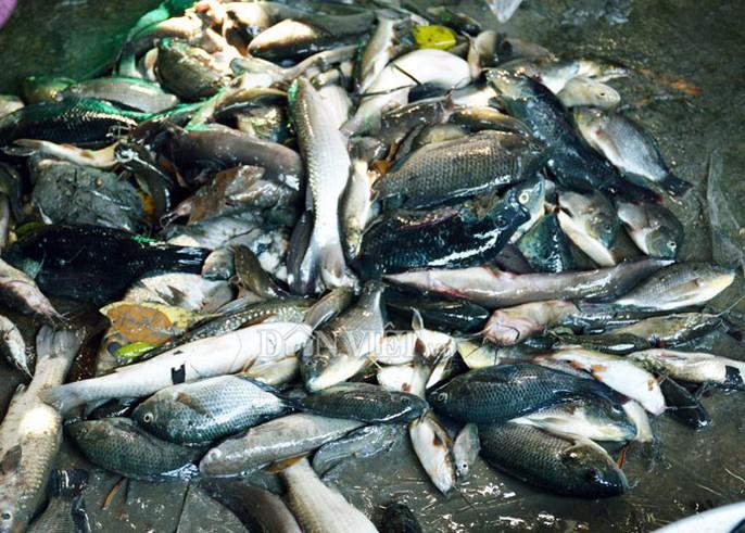 Ngợp với cảnh mỏi tay vớt cá dạt vào bờ ở Cà Mau, Bạc Liêu - Ảnh 5.