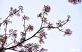 Hoa kèn hồng bung nở sớm, nhuộm tím những góc trời TP HCM