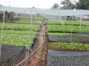 """Nông dân TP HCM """"méo mặt"""" vì cải xanh rớt giá thê thảm"""