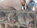 Kiếm bộn tiền nhờ xuất khẩu thịt chuột đồng