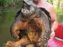 """Bắt được """"quái vật"""" rùa cá sấu nặng 45 kg"""