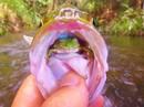Ếch xanh sống trong miệng cá
