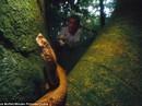 Loài rắn có nọc độc làm tan thịt người ở đảo Brazil