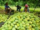 Nghịch lý trái cây đặc sản
