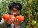 Cà chua Lâm Đồng bị vạ lây vì cà Trung Quốc