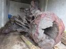 Quảng Bình: Đưa gốc gỗ sưa khủng vào bảo tàng