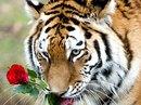Valentine, đến cọp cũng được yêu!
