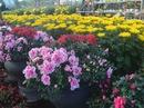 Mai, quất vắng khách, hoa rẻ tiền lên ngôi