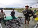 Gà Đông Tảo, cá mú nghệ hút hàng