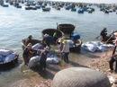 Chí Công vào mùa khai thác sò