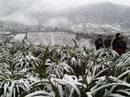 Sa Pa: Tuyết trắng tinh khôi trên ngọn cây, mái nhà