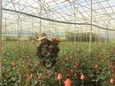 Thu hàng trăm triệu đồng từ vườn hồng công nghệ cao