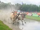 Lễ hội thiêng của người Khmer (*): Kỳ công nuôi bò đua