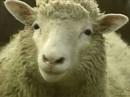 Cừu Dolly được gắn biển xanh vinh danh