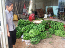 Chuối tiến vua trên đất Lâm Đồng