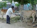 Ép dân mua bò già