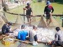 Tìm hướng đi mới cho cá tra