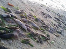 Tàu Trung Quốc đổ hóa chất giết cá quanh đảo Thị Tứ?