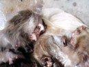 """Khoe hình ảnh giết khỉ lên facebook để """"ra oai"""" với bạn bè"""