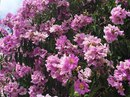 """Về Hồng Liêm, ngắm cây hoa bằng lăng """"đốn tim"""" nhiều du khách"""