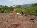Dự án cao su đe dọa rừng Phong Nha - Kẻ Bàng