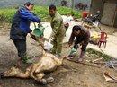 Đã có gần 2.000 gia súc bị chết rét